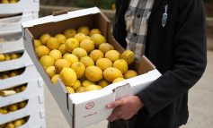 Veg box pioneers Riverford take on six tonnes of lemons rejected by supermarkets