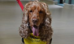 Fudge the dog heads to Bath's RUH to bring a smile to patients and staff