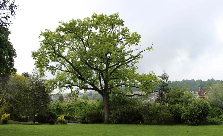Special ceremony set to mark the centenary of Sydney Gardens' 'Peace Oak'