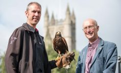 Murray the Harris hawk set to keep Bath's urban gulls from settling on roofs