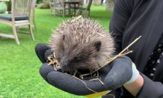 The Royal Crescent Hotel & Spa rehomes three hedgehogs in garden